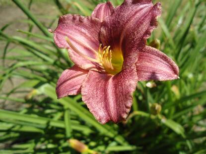 Thumbnail image of Hemerocallis RASPBERRY PIXIE