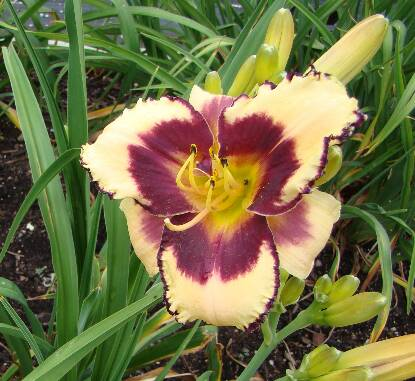 Thumbnail image of Hemerocallis RAVE ON