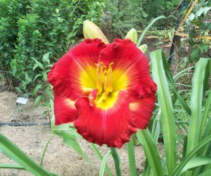 Thumbnail image of Hemerocallis REASON FOR TREASON