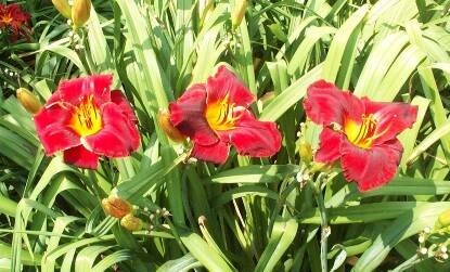 Thumbnail image of Hemerocallis RED CHALLENGER