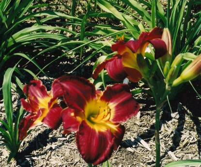 Thumbnail image of Hemerocallis RED FANCY