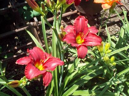 Thumbnail image of Hemerocallis RED RAZZMATAZZ