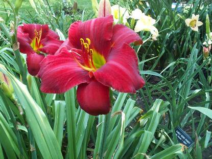 Thumbnail image of Hemerocallis RED REWARD