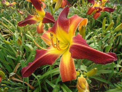 Thumbnail image of Hemerocallis RED SUSPENDERS