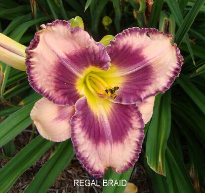 Thumbnail image of Hemerocallis REGAL BRAID