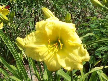 Thumbnail image of Hemerocallis RENEE