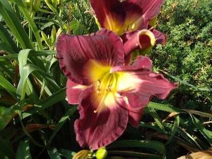 Thumbnail image of Hemerocallis RESPIGHI