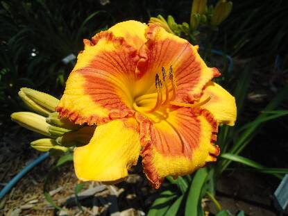 Thumbnail image of Hemerocallis RINGS OF DESIRE