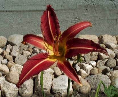Thumbnail image of Hemerocallis ROARING JELLYFISH