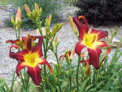Thumbnail image of Hemerocallis ROB COBB