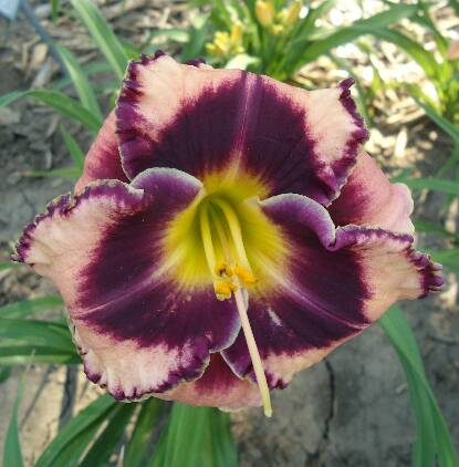 Thumbnail image of Hemerocallis ROCK SOLID