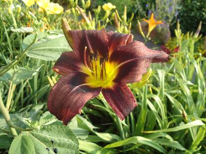 Thumbnail image of Hemerocallis ROCKY HORROR