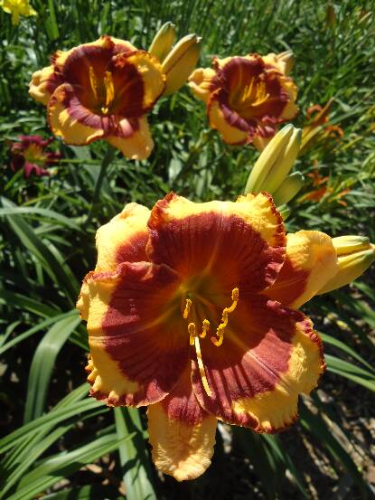 Thumbnail image of Hemerocallis RODEO SWEETHEART