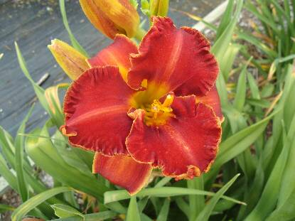 Thumbnail image of Hemerocallis ROMEO IS BLEEDING