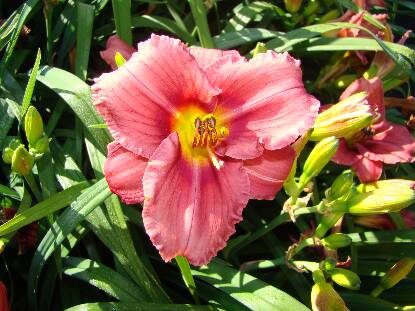 Thumbnail image of Hemerocallis ROSY RETURNS