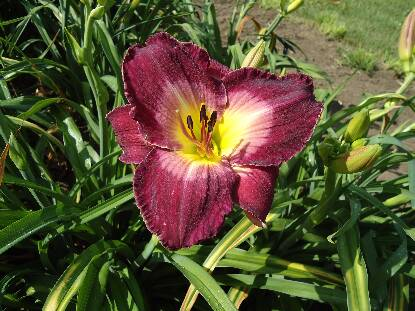 Thumbnail image of Hemerocallis ROYAL HEIRESS