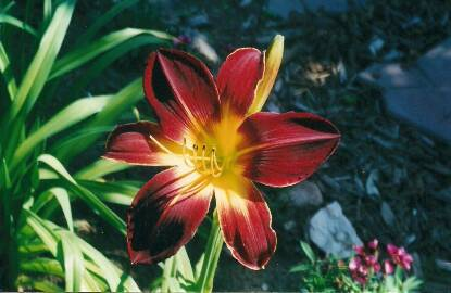 Thumbnail image of Hemerocallis RUBY SPIDER