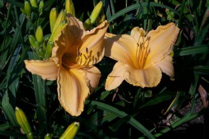 Thumbnail image of Hemerocallis RUFFLED APRICOT