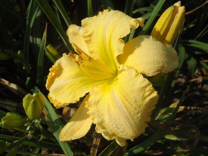 Thumbnail image of Hemerocallis RUFFLED DUDE