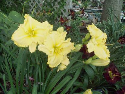 Thumbnail image of Hemerocallis RUFFLED LEMON LACE