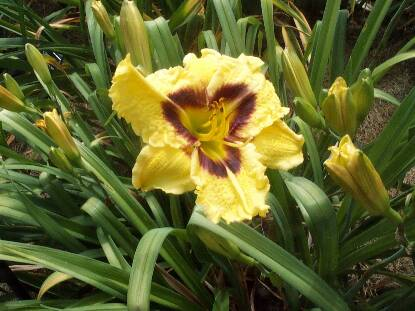 Thumbnail image of Hemerocallis RUMBLE SEAT ROMANCE
