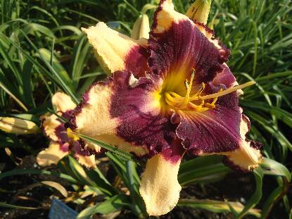 Full size photo of Hemerocallis SABINE BAUR