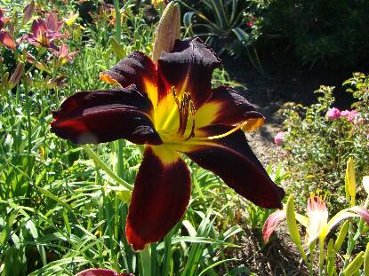 Thumbnail image of Hemerocallis SAMAR STAR FIRE