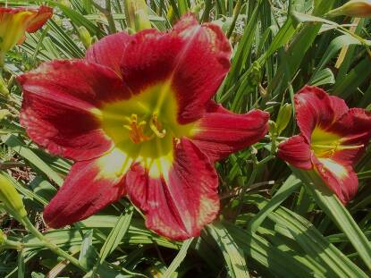 Thumbnail image of Hemerocallis SATANS DREAM