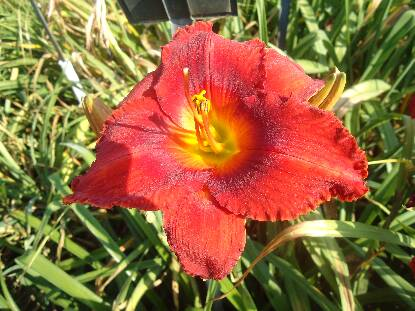Thumbnail image of Hemerocallis SATAN'S FIRE