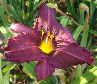 Thumbnail image of Hemerocallis SATINIQUE