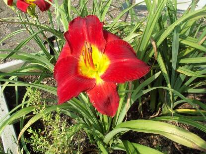 Thumbnail image of Hemerocallis SCARLET ORBIT