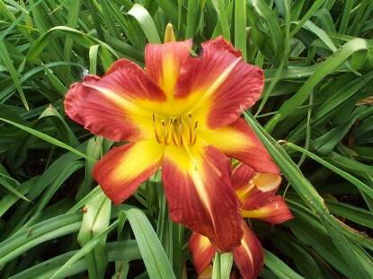 Full size photo of Hemerocallis SCARLET POLY-ANNA