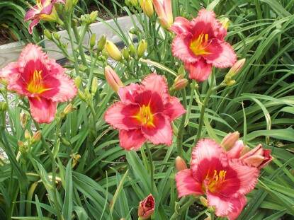 Thumbnail image of Hemerocallis SCARLETT KISSES