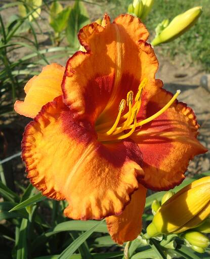 Thumbnail image of Hemerocallis SENECA SAFARI
