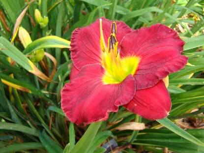 Thumbnail image of Hemerocallis SILOAM PAUL WATTS
