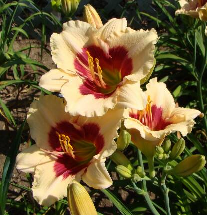 Thumbnail image of Hemerocallis SILOAM SHOCKER