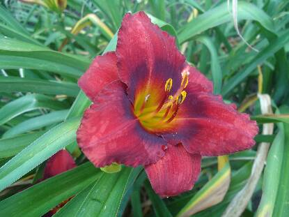 Thumbnail image of Hemerocallis SILOAM SHOW GIRL