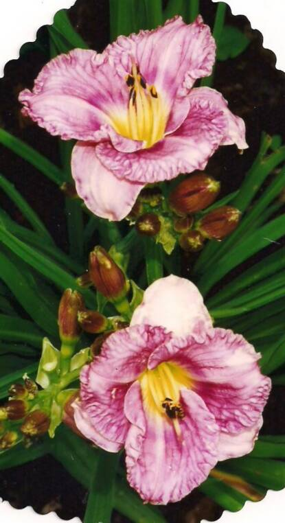 Thumbnail image of Hemerocallis SILOAM SUGARPLUM