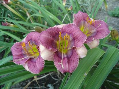 Thumbnail image of Hemerocallis SILOAM TINY TIM