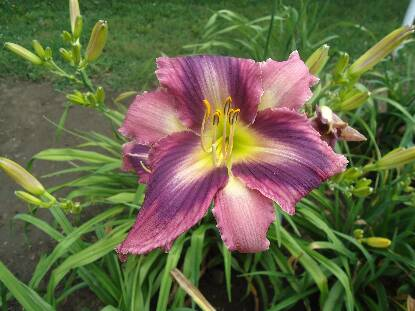 Thumbnail image of Hemerocallis SMOKE SCREAM