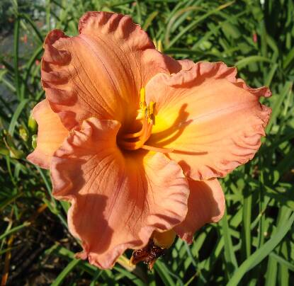 Thumbnail image of Hemerocallis SMOKY MOUNTAIN AUTUMN