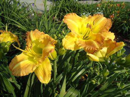 Thumbnail image of Hemerocallis SMUGGLER'S GOLD