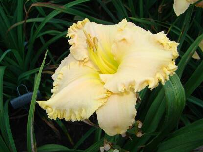 Thumbnail image of Hemerocallis SPACECOAST CREAM SUPREME