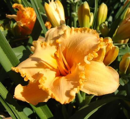 Thumbnail image of Hemerocallis SPACECOAST DIXIE CHICK