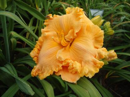 Thumbnail image of Hemerocallis SPACECOAST EXTREME FASHION