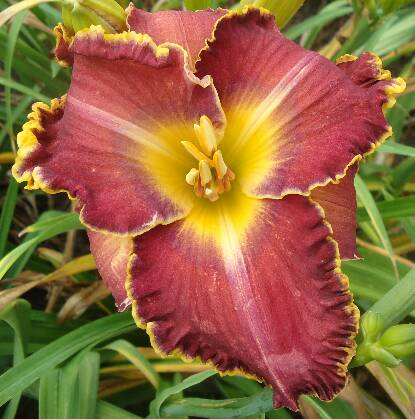 Thumbnail image of Hemerocallis SPACECOAST MULBERRY MOTIF