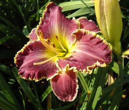 Thumbnail image of Hemerocallis SPACECOAST SHARP TOOTH