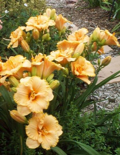 Thumbnail image of Hemerocallis SPACECOAST TINY PERFECTION