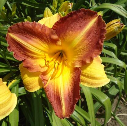 Thumbnail image of Hemerocallis SPANISH FORT