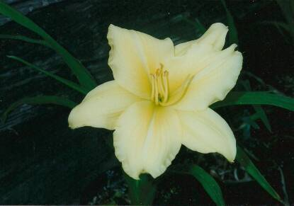 Thumbnail image of Hemerocallis SPEGIEL